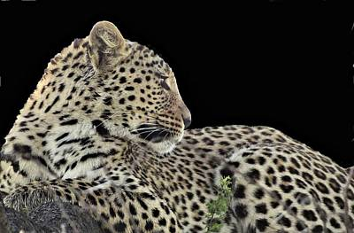 Photograph - Leopard Looks Back by Bruce W Krucke