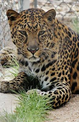 Photograph - Leopard Lounging 1 by Diane Alexander
