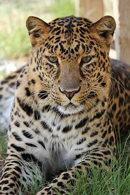 Photograph - Leopard Lounging 2 by Diane Alexander