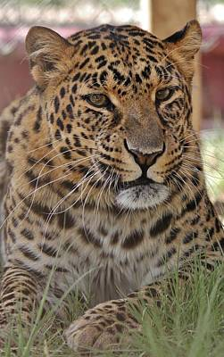Photograph - Leopard Lounging 3 by Diane Alexander