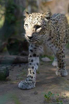 Photograph - Leopard by Michael Goyberg