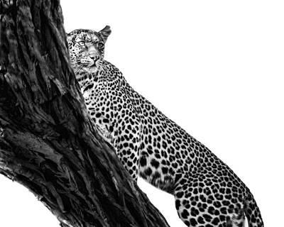 Photograph - Leopard On Watch by Gigi Ebert