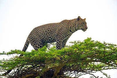 Climbing In Photograph - Leopard Panthera Pardus Climbing by Panoramic Images