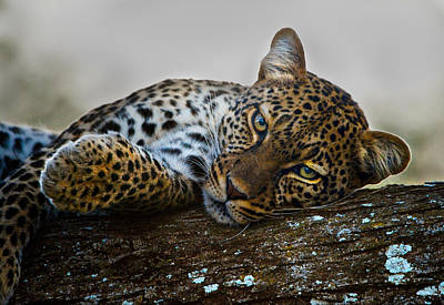 Leopard Panthera Pardus Lying Art Print by Panoramic Images