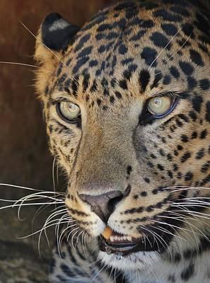 Photograph - Leopard Portrait 2 by Diane Alexander