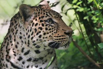 Photograph - Leopard Portrait by Dan Sproul