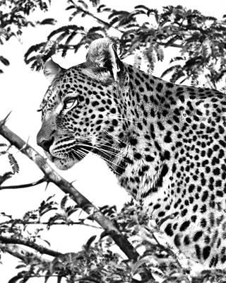 Photograph - Leopard Portrait by Gigi Ebert