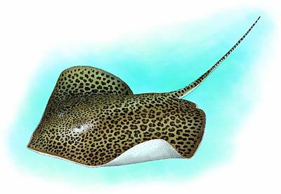 Photograph - Leopard Ray by Roger Hall