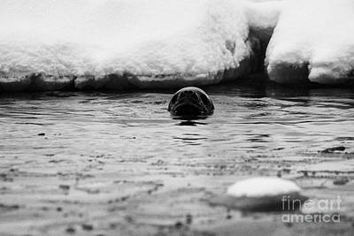 Fournier Photograph - leopard seal hydrurga leptonyx swimming in Fournier Bay between pack ice Antarctica by Joe Fox