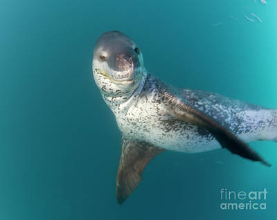 How To Draw A Leopard Seal In Color