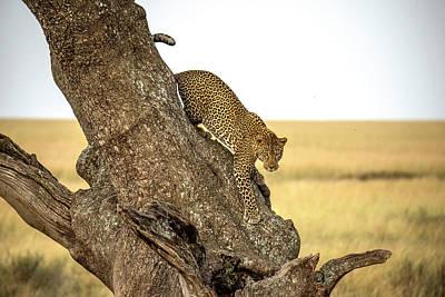 Leopard Wall Art - Photograph - Leopard - Serengheti, Tanzania by Giuseppe D\\\amico