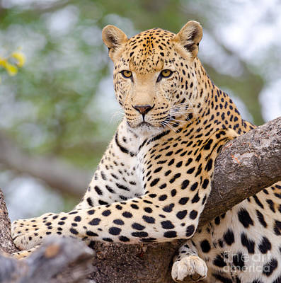 Leopard - South Africa Art Print by Birdimages Photography