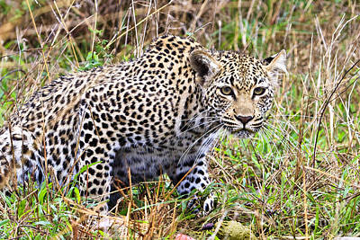 Leopard Stare Art Print