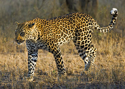 Leopard -the Elusive One Original by Basie Van Zyl