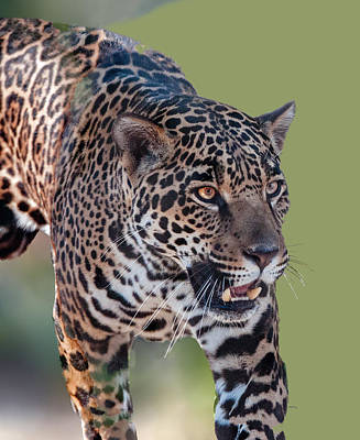 Photograph - Jaguar Walking Portrait by William Bitman