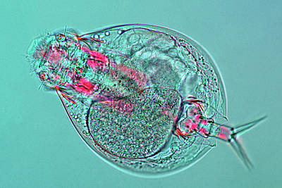 Microscopic Photograph - Lepadella Rotifer by Marek Mis