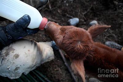 Buckaroo Photograph - Leppy Calf Harney Oregon by Michele AnneLouise Cohen