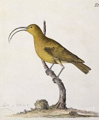 Lesser 'akialoa Finch, 18th Century Print by Natural History Museum, London