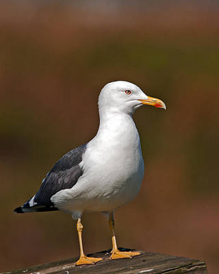 Photograph - Lesser Black-backed Gull by Paul Scoullar