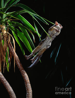 Highspeed Photograph - Lesser Bushbaby Leaping by Stephen Dalton