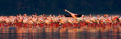 Flock Of Bird Photograph - Lesser Flamingos Phoenicopterus Minor by Panoramic Images