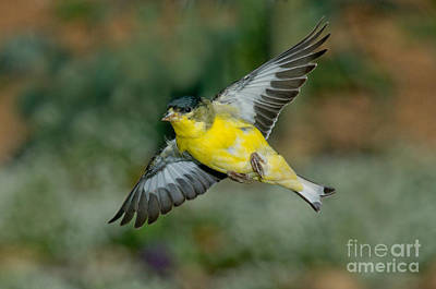 Lesser Goldfinch Male-flying Art Print by Anthony Mercieca