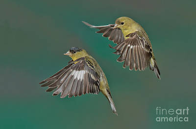 Lesser Goldfinch Pair In The Air Art Print by Anthony Mercieca