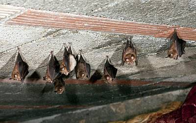 Roost Photograph - Lesser Horseshoe Bats Roosting by Bob Gibbons