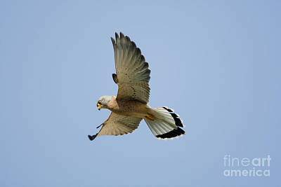 Birds Of Israel Photograph - Lesser Kestrel Falco Naumanni by Eyal Bartov