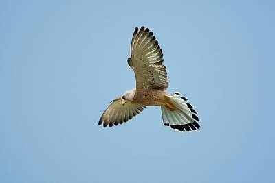 Birds Of Israel Photograph - Lesser Kestrel (falco Naumanni) by Photostock-israel