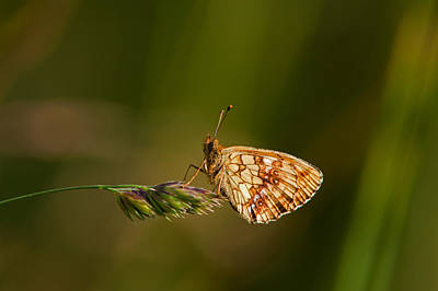 All You Need Is Love - Lesser Marbled Fritillary Butterfly  by Torbjorn Swenelius