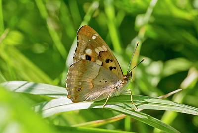 Romanian Photograph - Lesser Purple Emperor Butterfly by Bob Gibbons