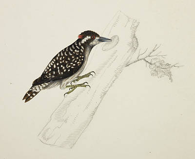 Illustration Technique Photograph - Lesser Pygmy Woodpecker by British Library