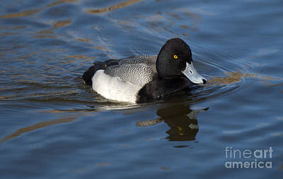 Lesser Scaup Photograph - Lesser Scaup Drake by Bob Christopher