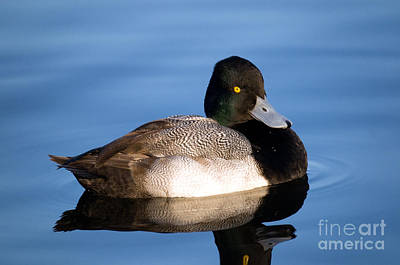 Lesser Scaup Photograph - Lesser Scaup Duck by Terry Elniski