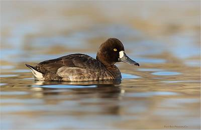 Photograph - Lesser Scaup Hen by Daniel Behm