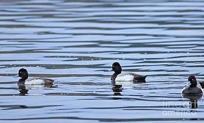 Broadbill Photograph - Lesser Scaup by Louise Heusinkveld