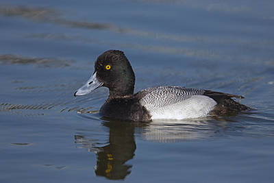 Lesser Scaup Photograph - Lesser Scaup Male by Tom Vezo