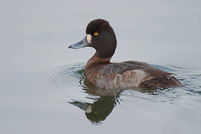 Lesser Scaup Photograph - Lesser Scaup by Ram Vasudev