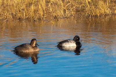 Lesser Scaup Photograph - Lesser Scaup by Rich Leighton