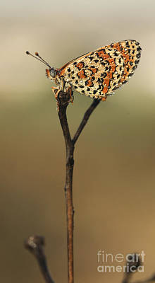 Lesser Spotted Fritillary Print by Alon Meir