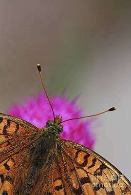 Lesser Spotted Fritillary Art Print by Amos Dor