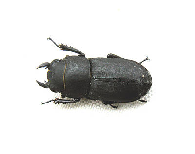 Photograph - Lesser Stag Beetle by Tom Conway