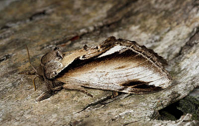 Swallow Photograph - Lesser Swallow Prominent Moth by Nigel Downer