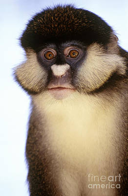 Photograph - Lesser White-nosed Monkey by Art Wolfe