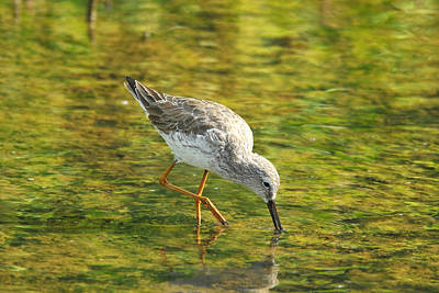 Photograph - Lesser Yellowlegs by Alan Lenk