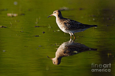 Photograph - Lesser Yellowlegs by Larry Ricker