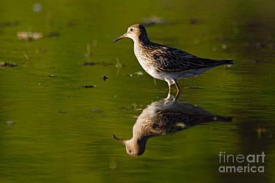 Sandpiper Photograph - Lesser Yellowlegs by Larry Ricker