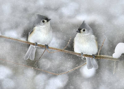 Tufted Titmouse Photograph - Let It Snow by Lori Deiter