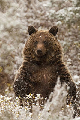 Grizzly Bear Photograph - Let It Snow by Sandy Sisti